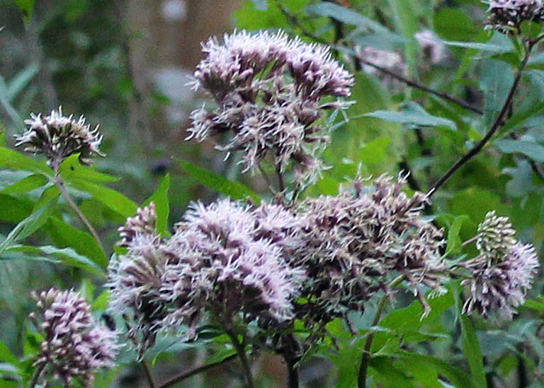 Flowers, Hemp Agrimony, August 2014
