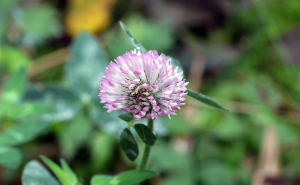Flowers, Red Clover, provisional identification, October 2014