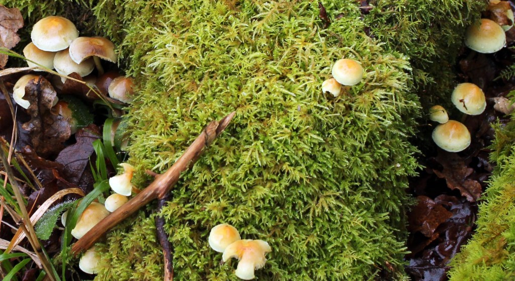 Fungi, Sulphur Tuft, provisional identification, December 2014
