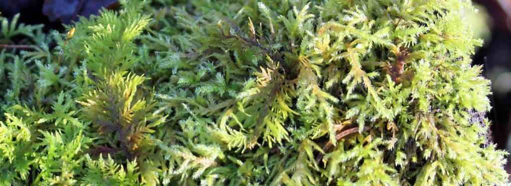 Moss, unidentified, December 2014