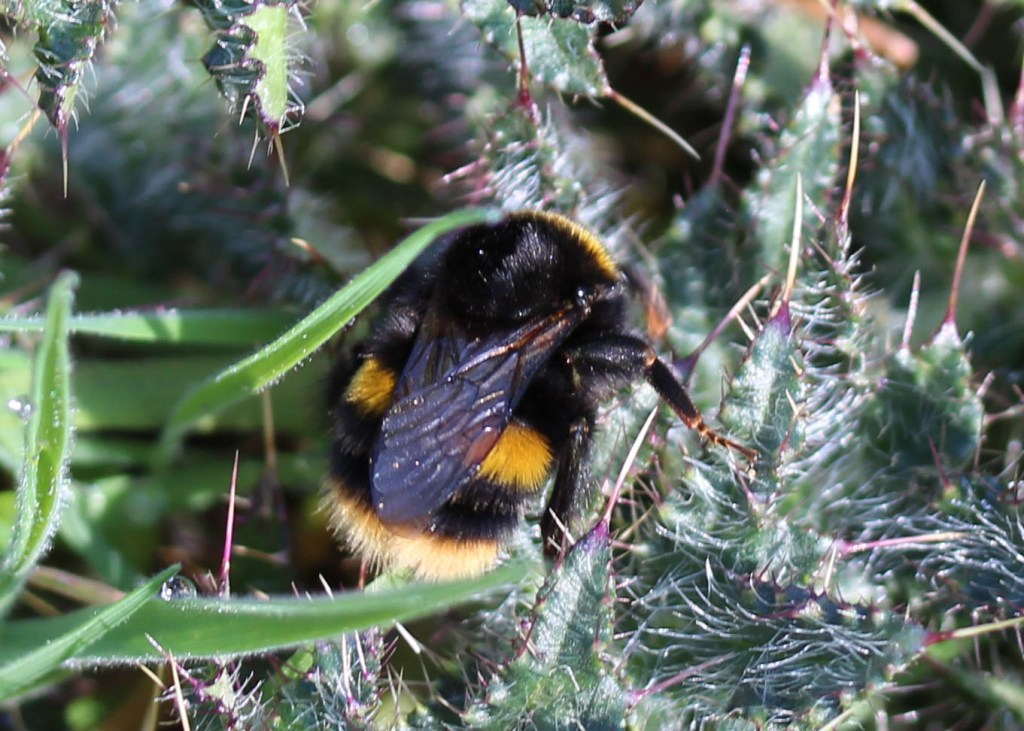 Insect, Buff-tailed bumblebee, provisional identification, April 2015 2015