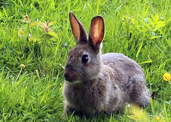 Fauna, Rabbit, May 2015