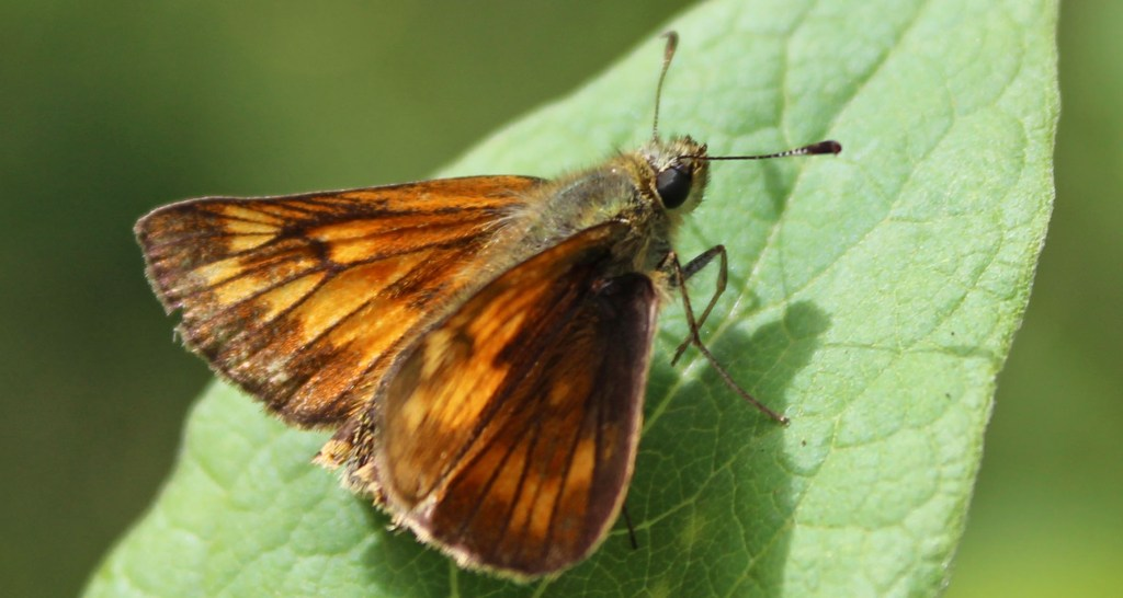 Butterfly, Large Skipper, provisional identification, July 2015