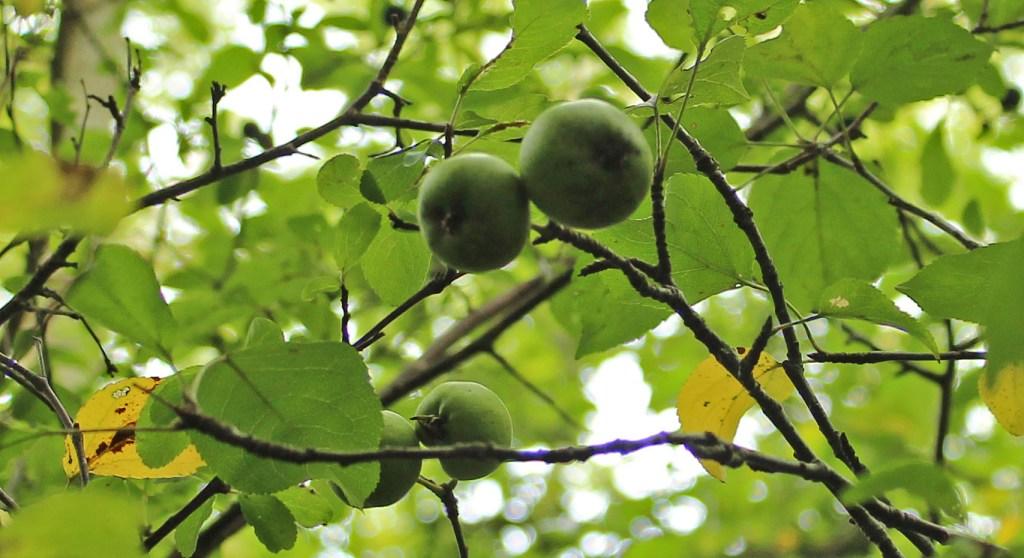 Tree, Crab Apple, September 2015