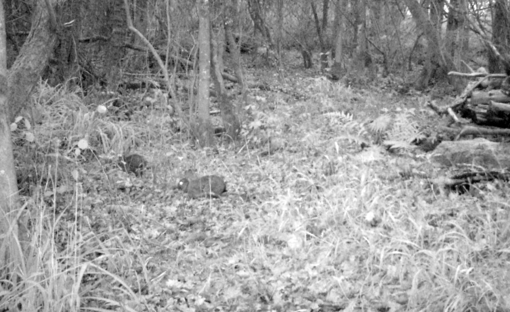 Fauna, Rabbit, December 2015