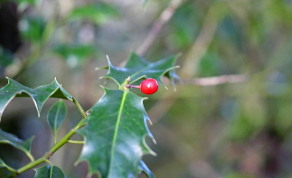 Trees, Holly, December 2015
