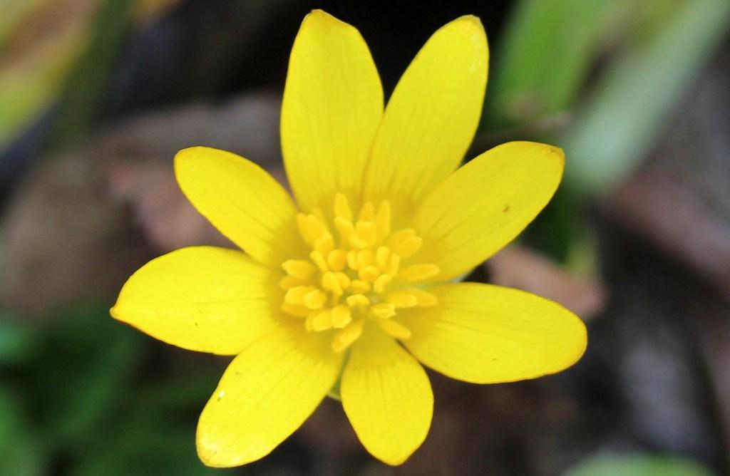 Flowers, Lesser Celandine, March 2016