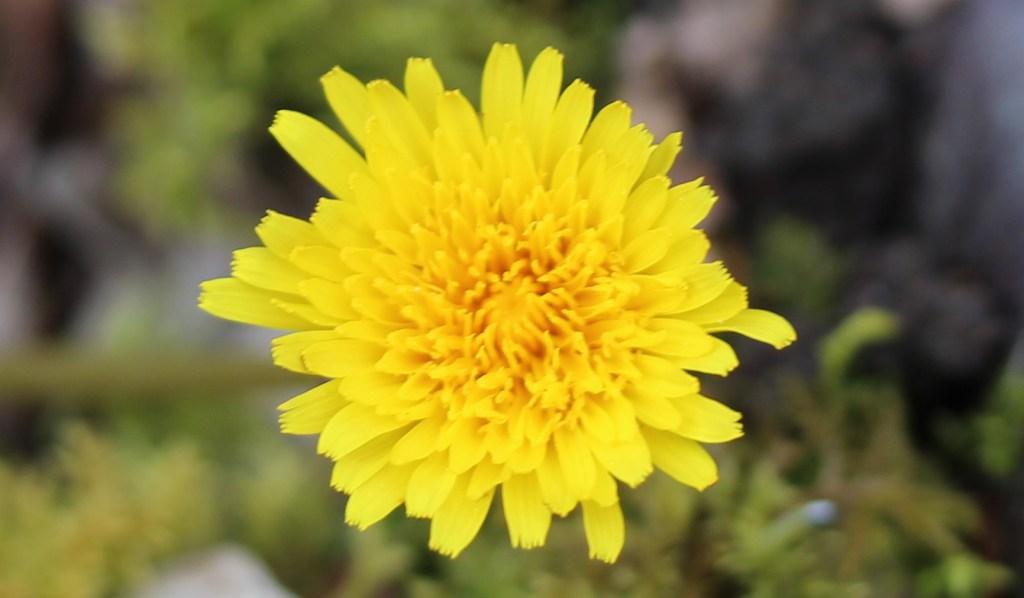 Flowers, Dandelion, April 2016