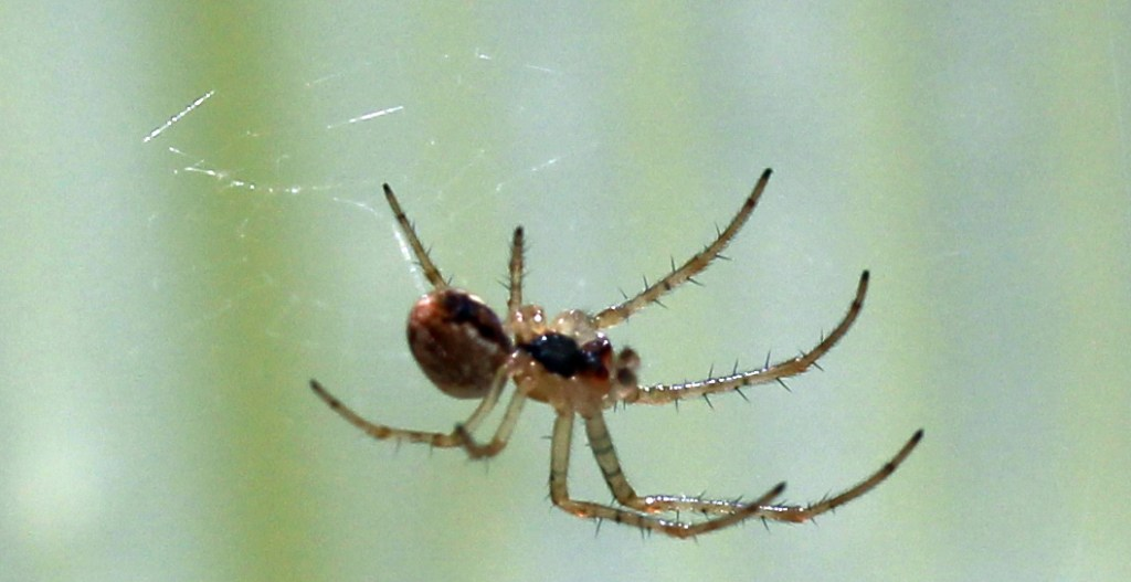 Spider, unidentified, April 2016