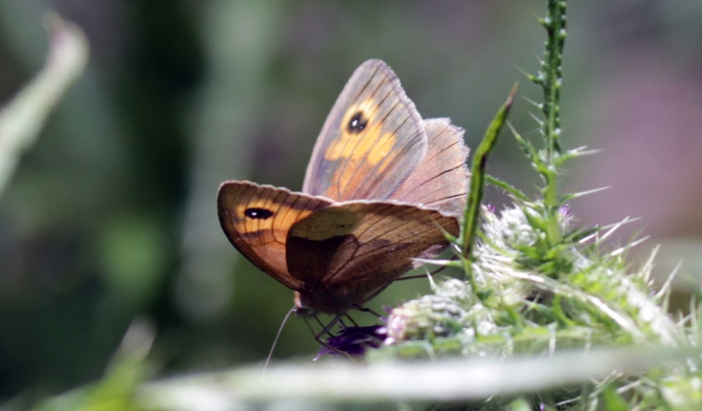 Butterflies, Meadow Brown, July 2016