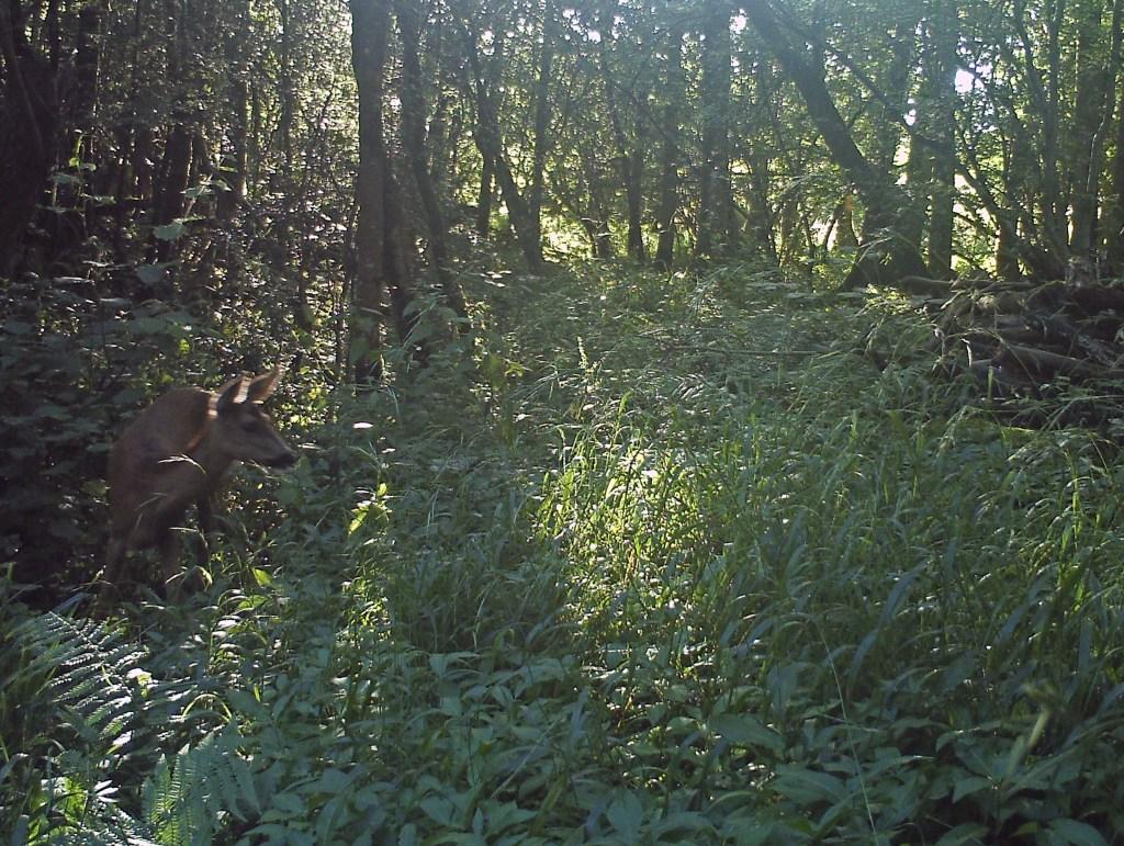 Fauna, Roe Deer, July 2016