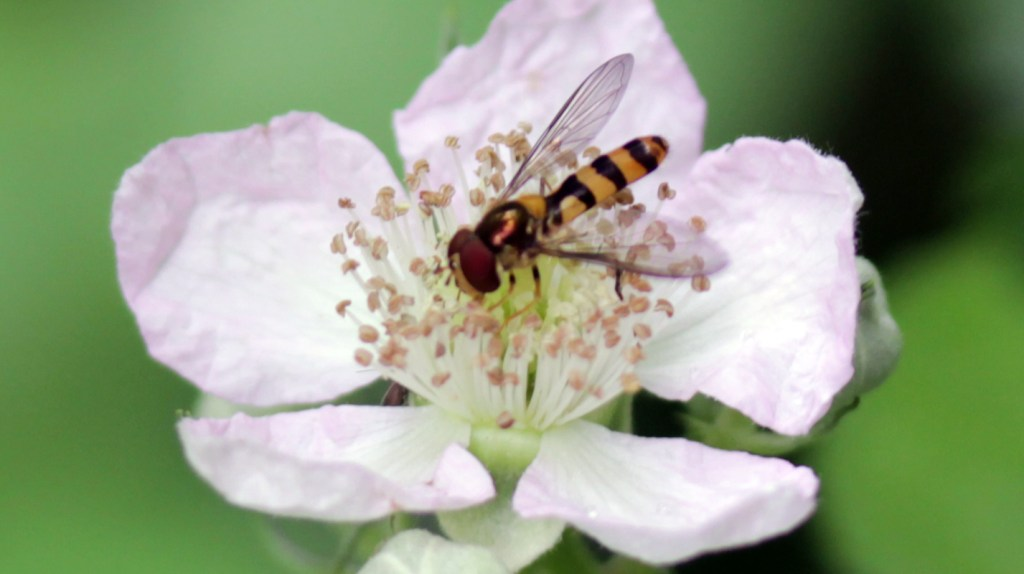 Insect, Flower Fly, July 2016