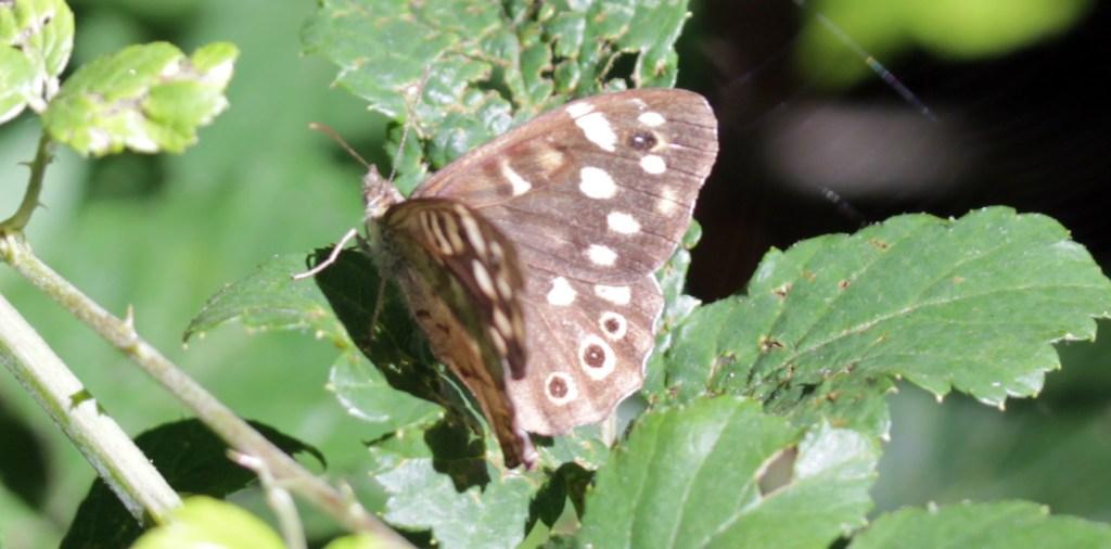 Butterflies, Speckled Wood, September 2016