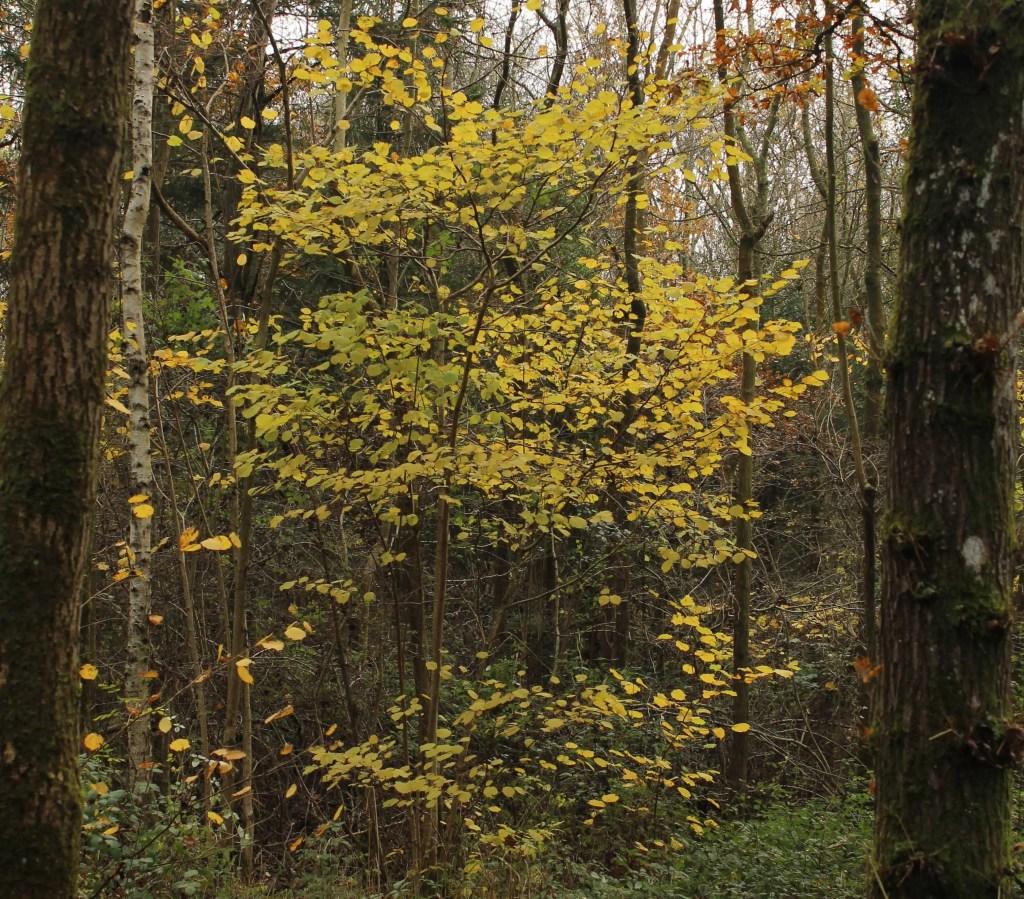 Trees, Hazel, November 2016