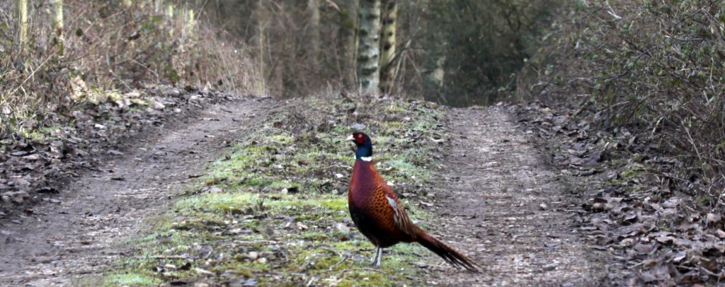Birds, Pheasant, February 2017