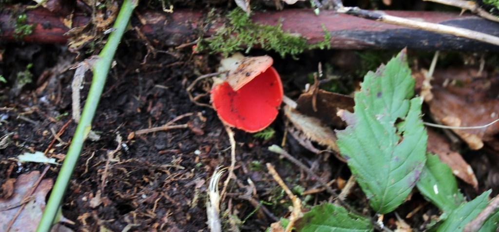Fungi, Scarlet Elf Cup, February 2017