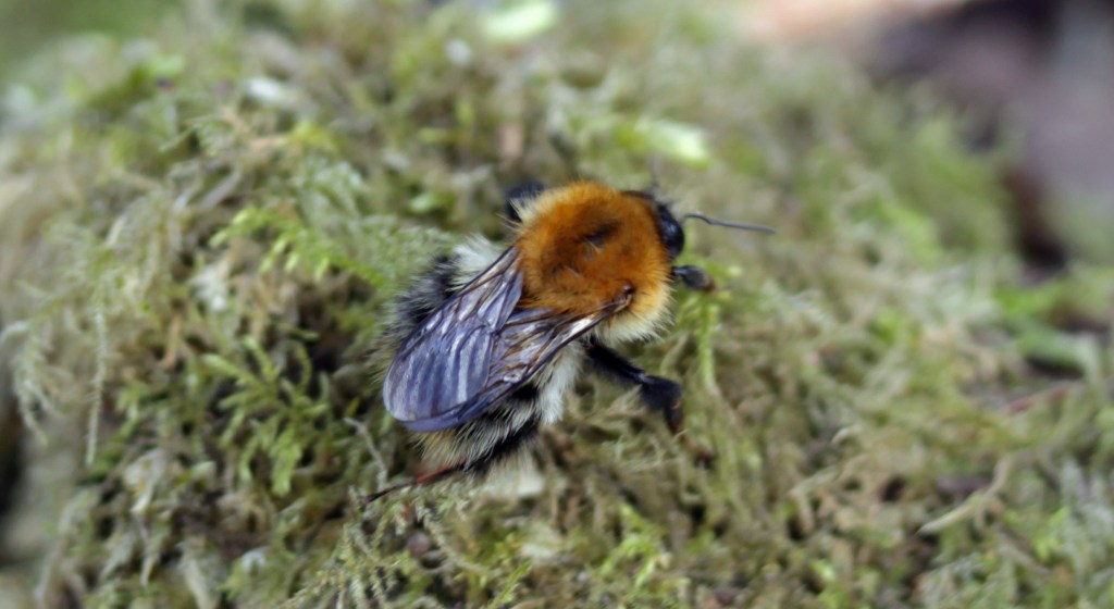 Bumblebee, Common Carder Bee, provisional identification, March 2017