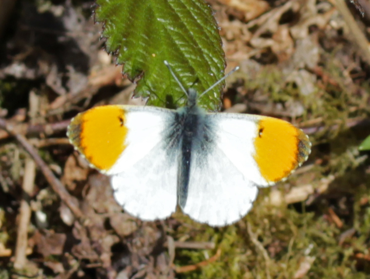Butterfly, Orange Tip, April 2017