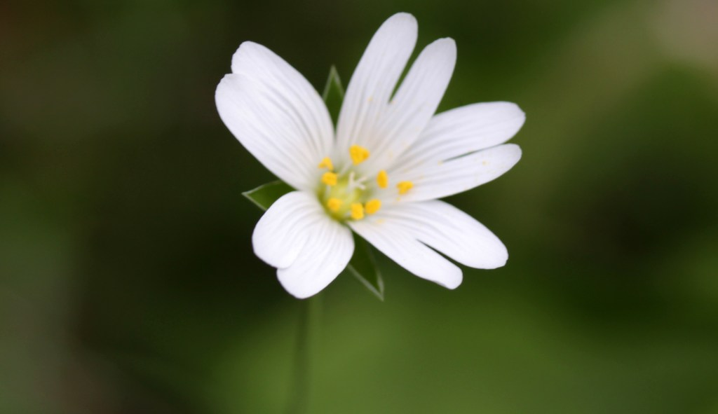Flowers Greater Stitchwort, April 2017