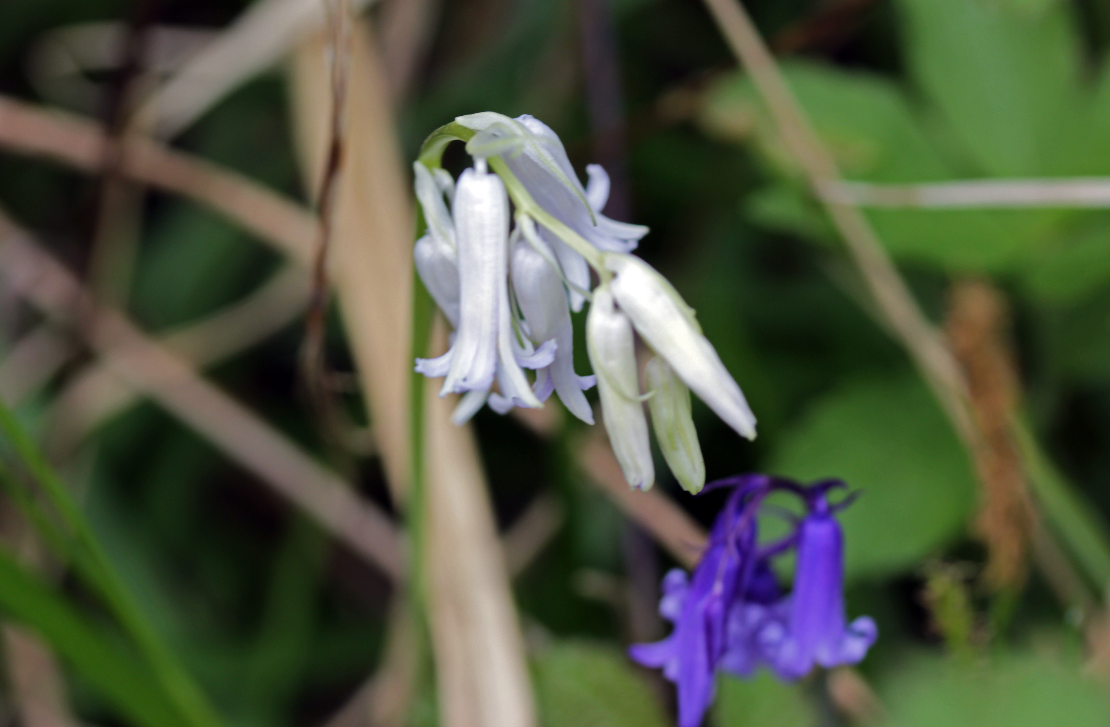 Bluebell an english wood flowers bluebell april 2017 mightylinksfo Gallery
