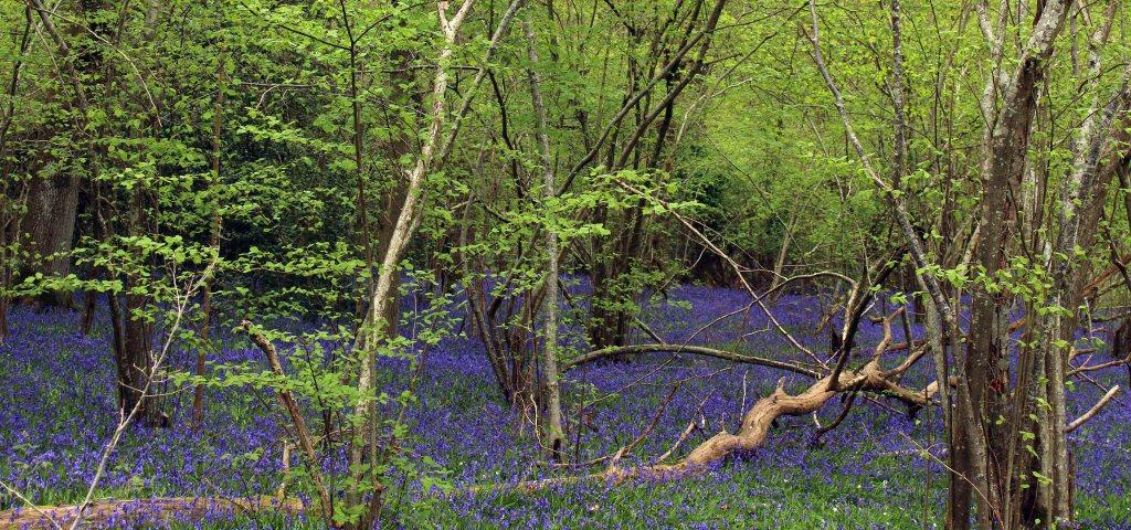 Flowers, Bluebells, April 2017