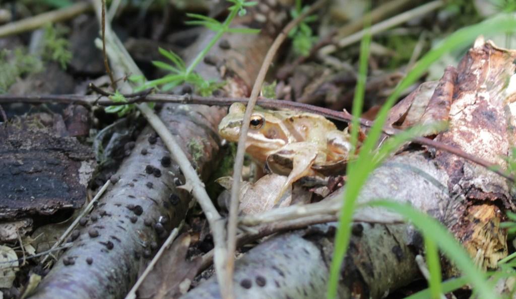 Fauna, Frog, May 2017