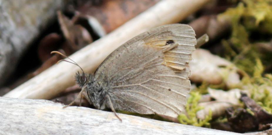 Butterflies, Meadow Brown, July 2017
