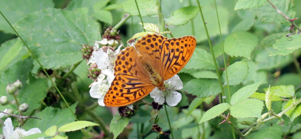 Butterflies, Silver-washed Fritilliary, July 2017
