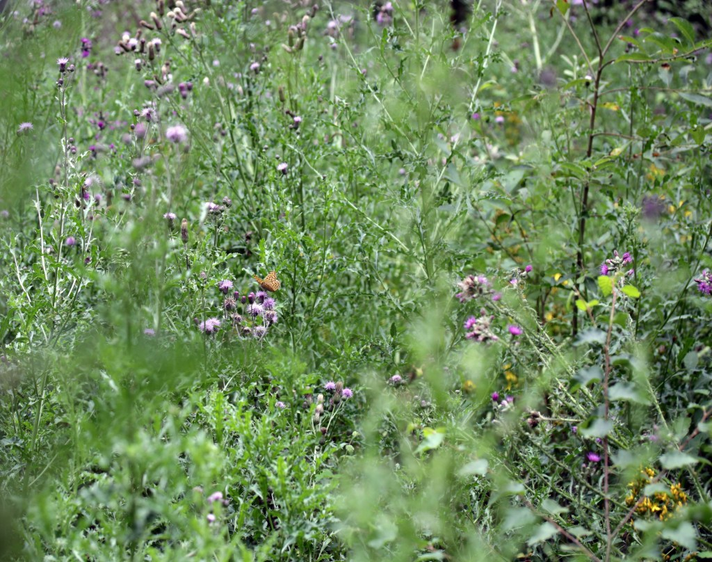 Flowers, Thistles, July 2017