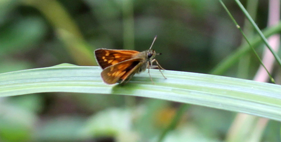 Butterflies, Large Skipper, July 2017