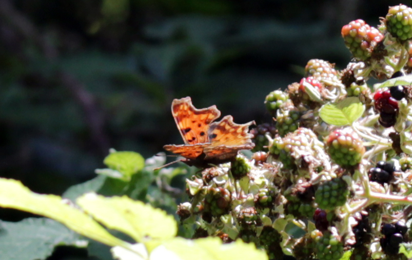 Butterflies, Comma, August 2017