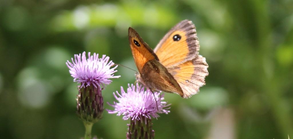 Butterflies, Gatekeeper, August 2017
