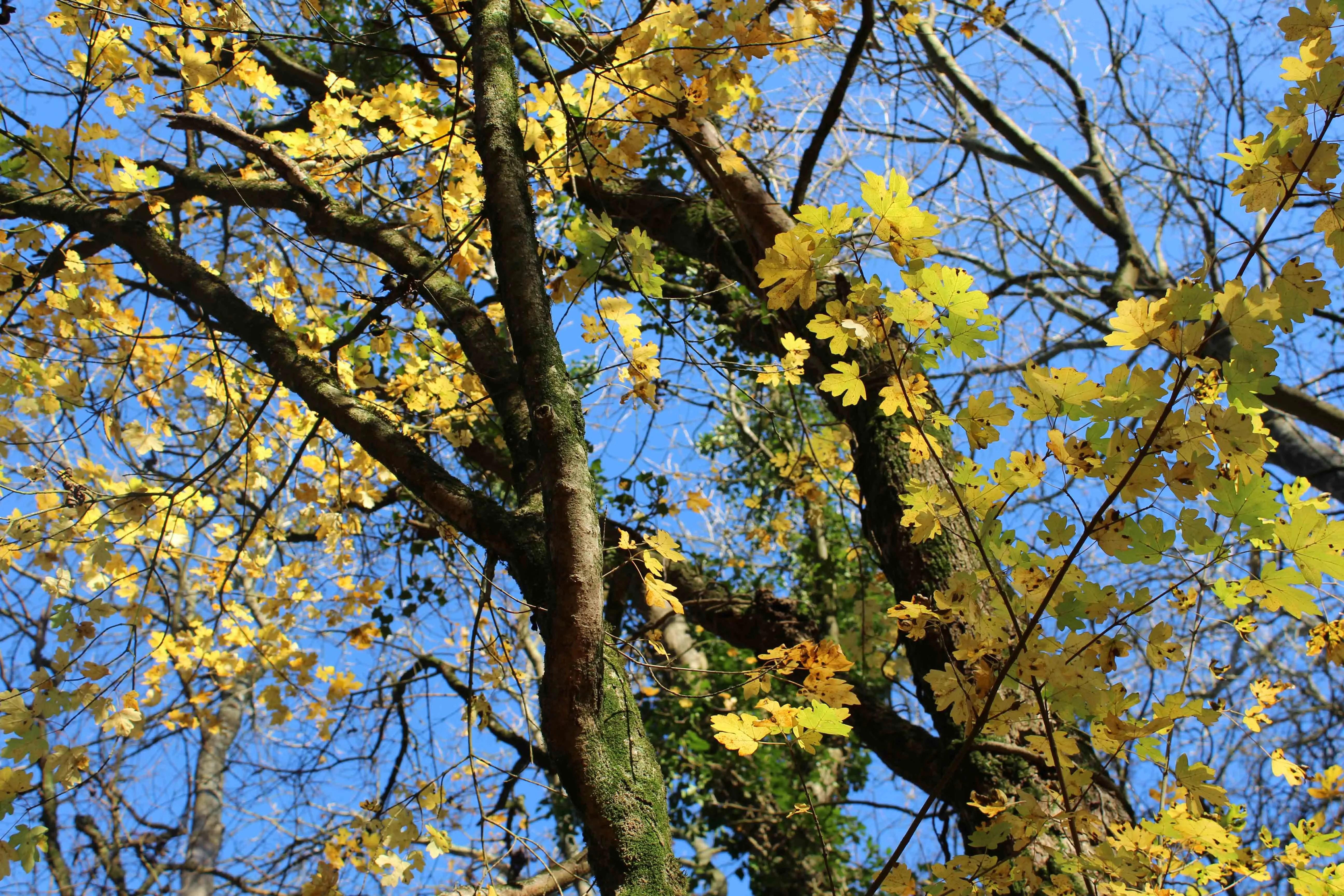 Trees, Field Maple, November 2017