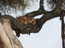Lion Asleep In Tree