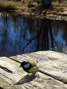 A Great Tit (Parus major). Not kidding. That's really its name.
