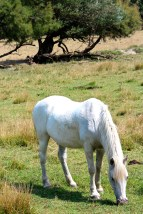 Herds of wild white horses are also allowed to roam free across the Camargue. Like all white horses, the Camarguais are born dark brown and grow whiter as they mature into adults.
