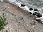 I think these might be oystercatchers (Haematopus ostralegus).