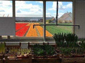 """Rows of orange """"mutant"""" tulips wave to us from inside the bulb barn. Daan has named them """"Orange Princeps,"""" but they are not yet abundant enough to be sold to the general public. A few more years and the crop will be large enough for market."""