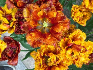 """Fringed tulips have been bred to be frilly. This cultivar, called """"Bastia,"""" reminds me of neon sea anemones."""