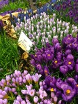 For those of you who are fans of Easter-egg-like crocuses, here's a whole gradient of purples to pick from.