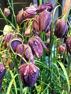 """I fell in love with """"Fritillaria meleagris"""" years ago when visiting Glasgow, Scotland. The entire, forested front lawn of Charles Rennie MacIntosh's Hill House was carpeted with these delicate little flowers. They stand only about eight inches tall, and their dangling heads shiver in the slightest breeze. I once got them to bloom back home, nestled in between the roots of an oak, which sheltered them from the notorious Chicago wind. Their speckled appearance has given them the nicknames """"Guinea Hen Flower"""" and """"Snake's Head."""""""