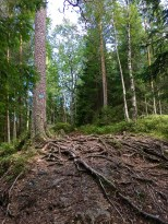 The soil is so shallow that a conifer's roots must crawl far across the ground to anchor the tree adequately. The roots sure make great tripping hazards.