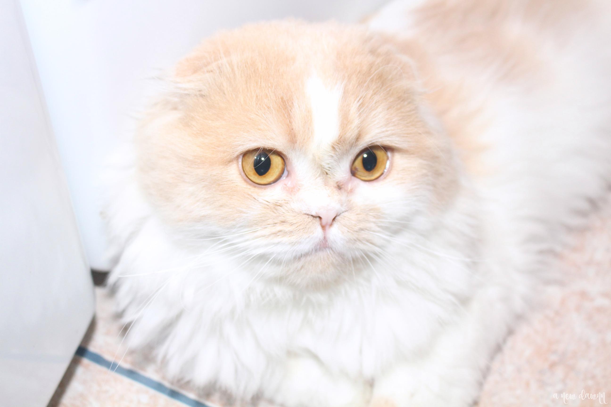 tan and white Scottish fold cat
