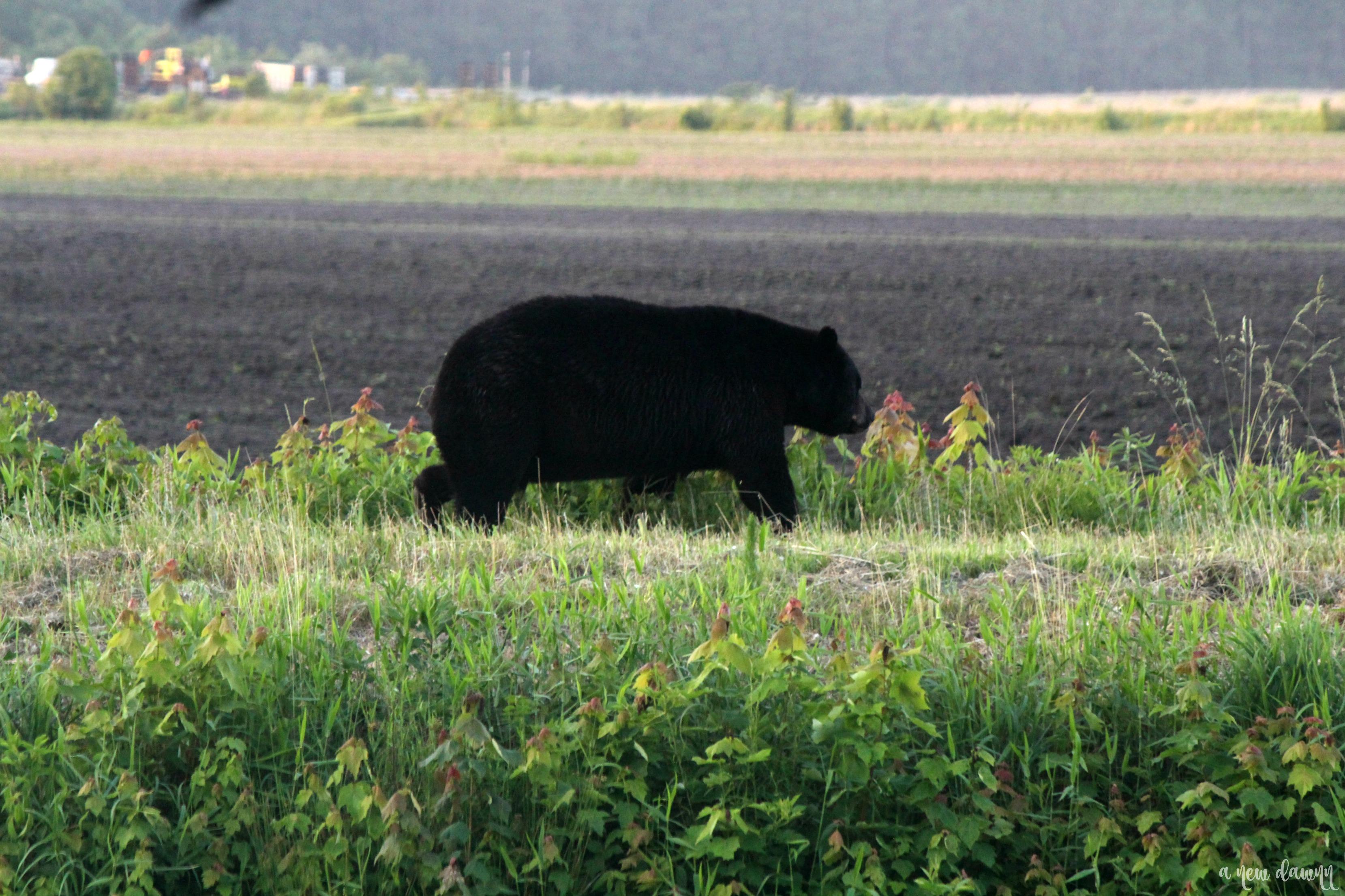 Bear walking by in Alligator River Wildlife Refuge