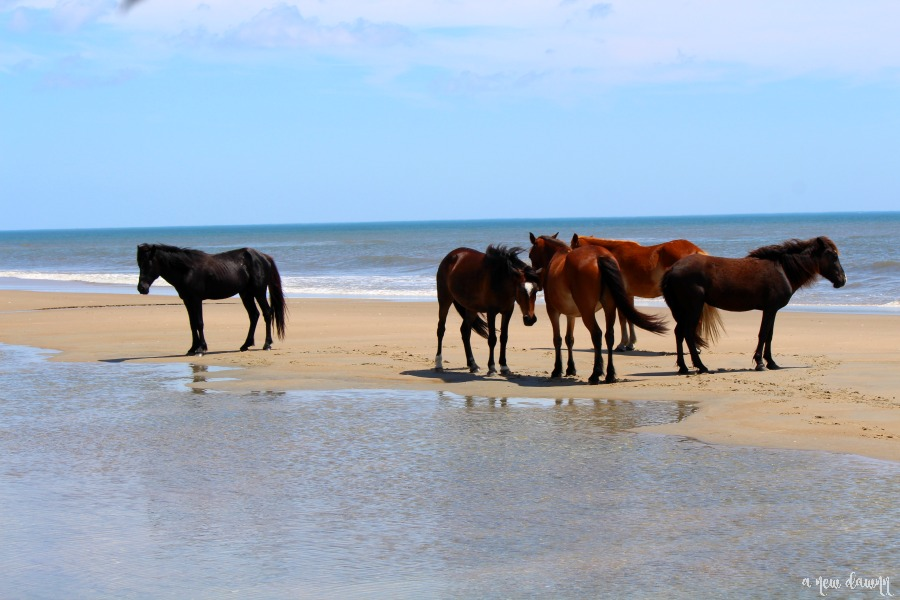 Wild Horses on the beach in Corolla, NC