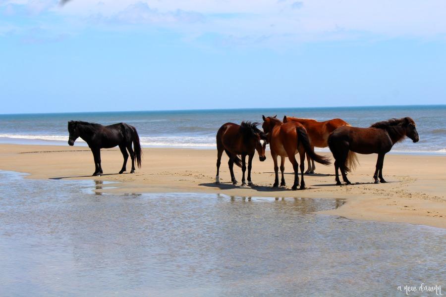 Wild Horses on the beach in Corolla, NC