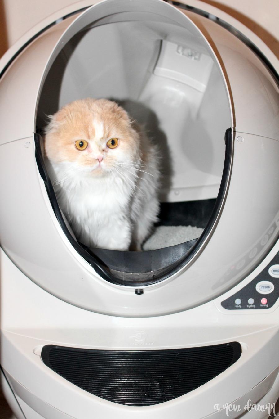 Scottish Fold cat inside the litter robot