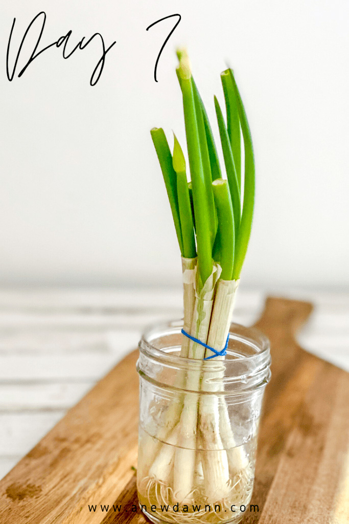 day 7 of growing green onions