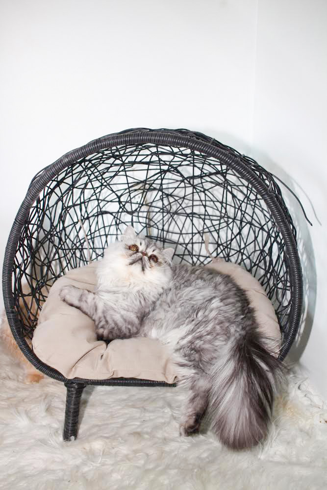 chinchilla Persian sitting in a chair