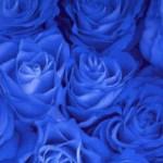 roseblu1